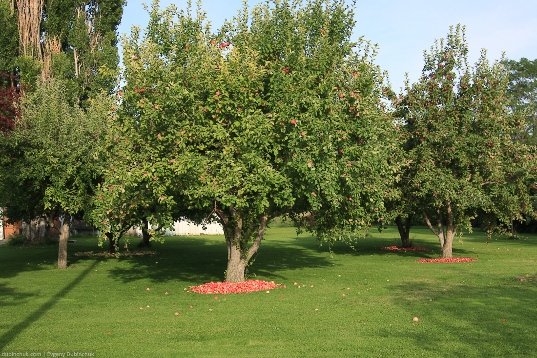 Яблони в Монтане. Apple trees and apples in Montana, USA