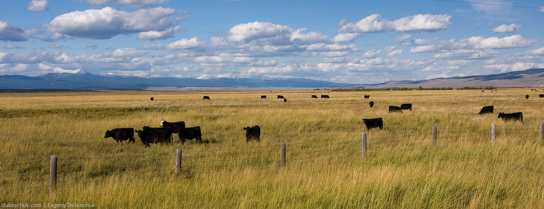 Коровы в горной долине штата Монтана. Одиночный велопоход по США. Cows in Montana, USA
