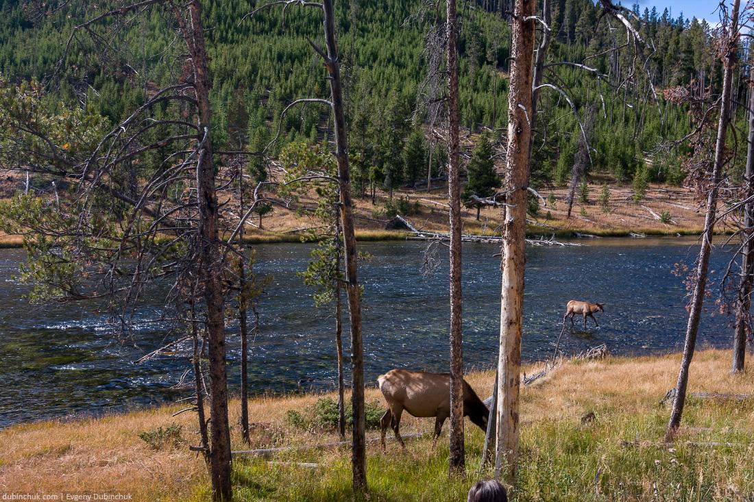 Олени в Национальном парке Йеллоустоун, США. Одиночное путешествие на велосипеде по США. Deers in Yellowstone National Park