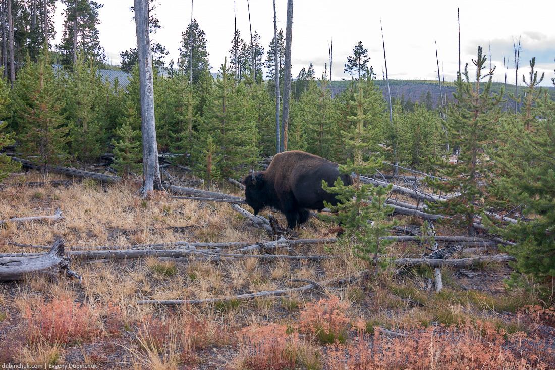 Бизон в Национальном парке Йеллоустоун. Одиночное путешествие в Америку на велосипеде. Bison in Yellowstone National Park, Wyoming, USA
