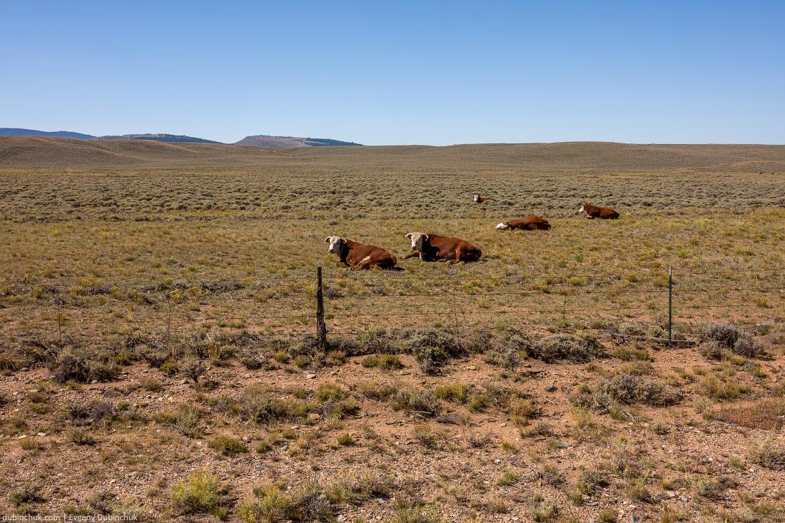 Коровы в поле. Одиночный поход на велосипеде по США. Cows in the field