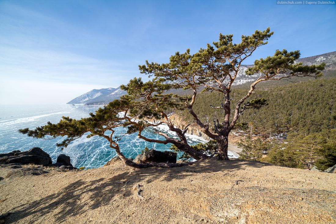 Причудливая сосна. Мыс Малый Колокольный. Путешествие по Байкалу на коньках. Lake Baikal in winter