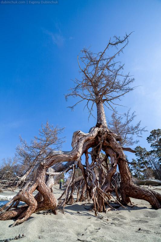Ходульные деревья. Байкал, бухта Песчаная зимой. Путешествие по Байкалу на коньках. Baikal in winter