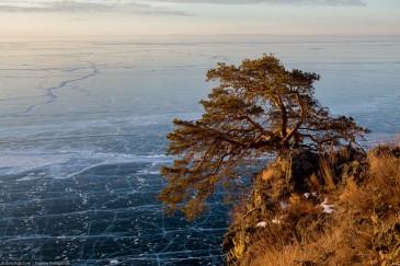 Причудливая сосна и ледяное полотно Байкала, вид сверху. Путешествие по Байкалу на коньках. Fir tree and ice on Lake Baikal in winter