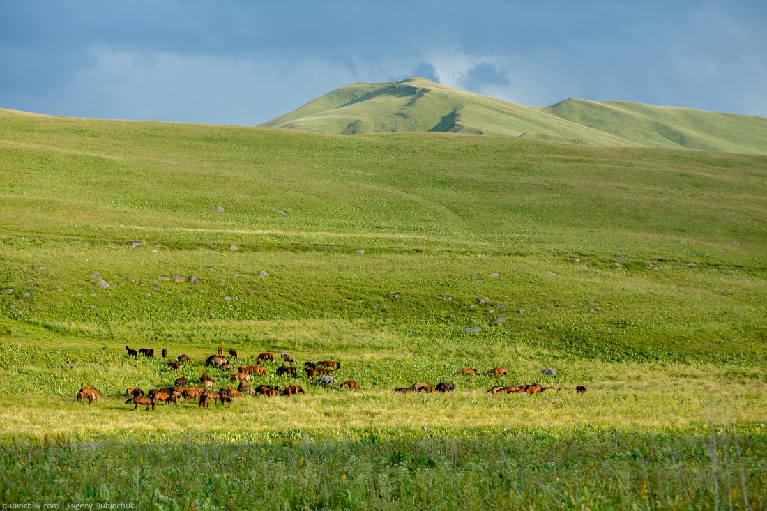 Big herd of horses