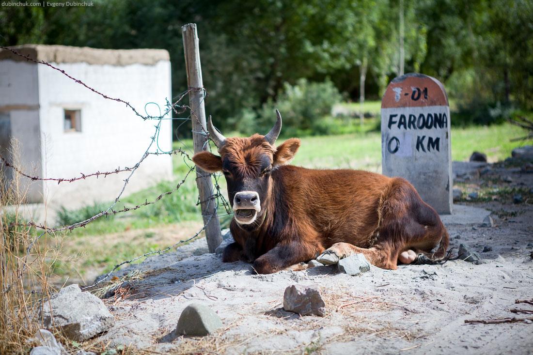 Священная индийская корова на обочине дороги