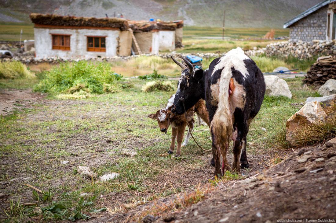 Хайнак - гибрид яка и коровы - и теленок