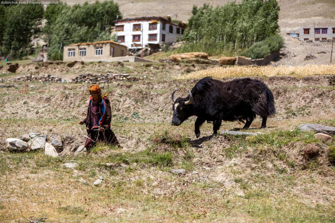 Женщина ведет яка. Занскар, Северная Индия
