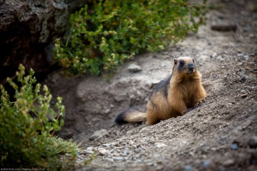 Fat marmot in Himalayas