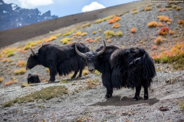 Big yaks in Himalayas, India