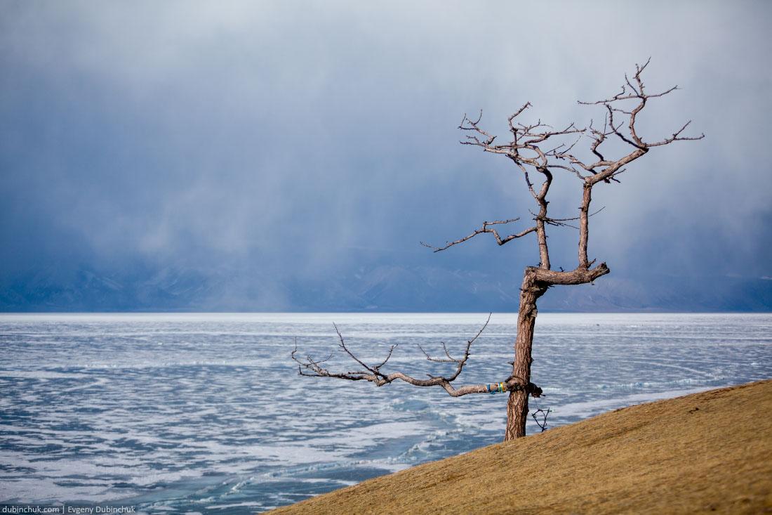 Кривое дерево в Хужире рядом с мысом Бурхан. Ольхон, Байкал. Olkhon island, lake Baikal