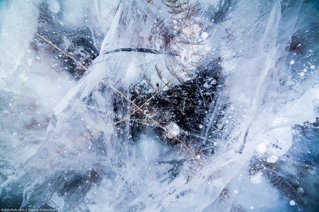Растения внутри льда озера Байкал. Plants inside ice of lake Baikal