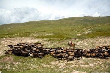 Cowgirl and sheeps in Kirghizia