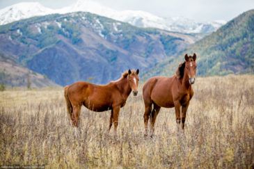 Horses grazing in Altai mountains