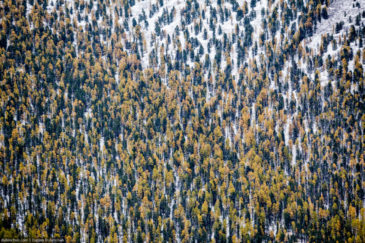 Yellow-green forest on slopes of Altai mountains. Russia