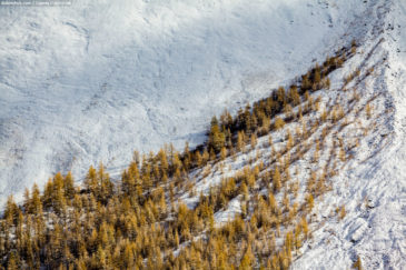 Yellow trees on white snow. Altai