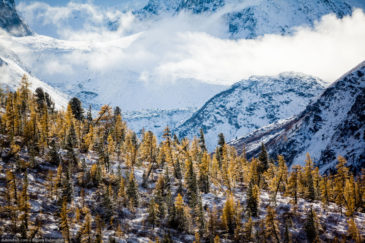 Yellow trees on snowy mountains background. Autumn in Altai republic