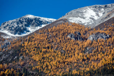 Yellow trees on slopes of tibetan mountains