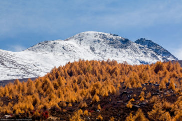 Yellow trees and white mountain. Tibet, China