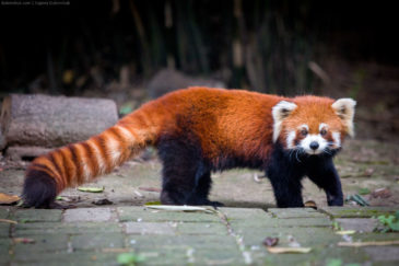 Red panda in Chengdu Research Base of Giant Panda Breeding